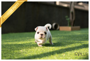 (Purchased by Avila) COCO - Pug. F - Rolly Teacup Puppies - Rolly Pups