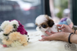 (SOLD to Mamta) Coco -Shih Tzu. F - Rolly Teacup Puppies - Rolly Pups