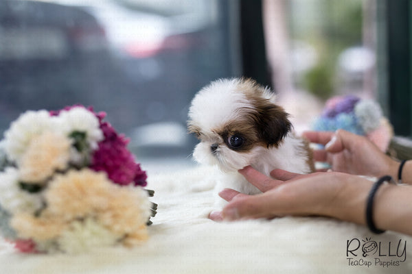 (SOLD to Mamta) Coco -Shih Tzu. F - Rolly Teacup Puppies