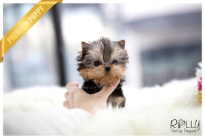 (SOLD to Bae) Coco - Yorkie. F - Rolly Teacup Puppies - Rolly Pups