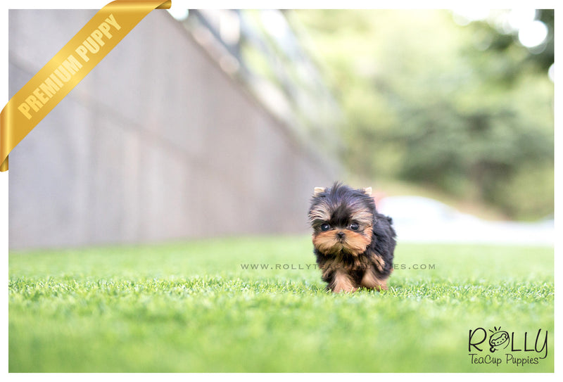 (SOLD to B) Coco - Yorkie. F - ROLLY PUPS INC