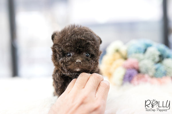 (SOLD to Eric)Cocoa - Poodle. F