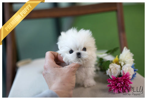 (SOLD to Yan) Coconut - Maltese. M