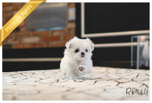 (PURCHASED by LEAK) COCONUT - Maltese. M - ROLLY PUPS INC