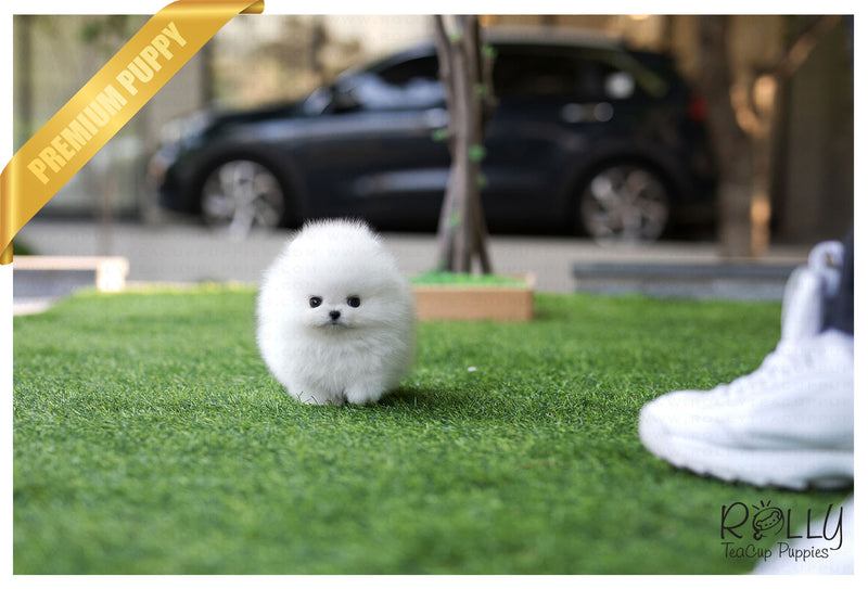 (Reserved by Bander)Coconut - Pomeranian. M