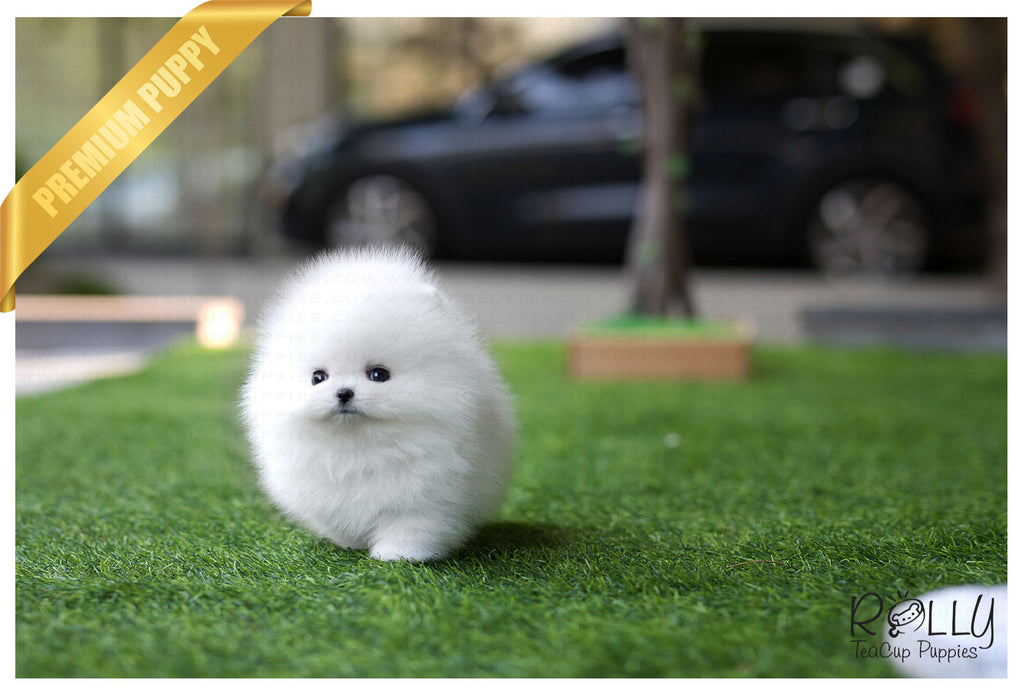(Reserved by Bander) Coconut - Pomeranian. M - Rolly Teacup Puppies