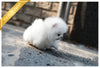 (Purchased by Bander) Coconut - Pomeranian. M - ROLLY PUPS INC