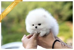 (Purchased by Bander) Coconut - Pomeranian. M - Rolly Teacup Puppies