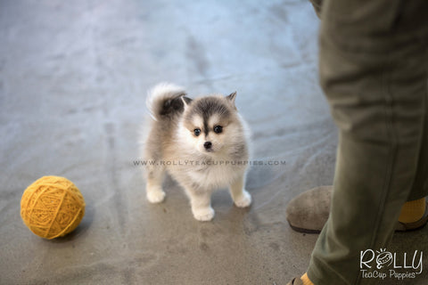 (RESERVED to Sulaiman) Cody - Pomsky. M