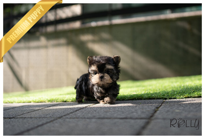 (PURCHASED by DAISY) COLA - Morkie. M - Rolly Teacup Puppies
