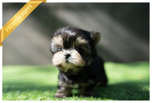 (PURCHASED by DAISY) COLA - Morkie. M - Rolly Teacup Puppies - Rolly Pups