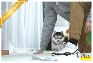 (Purchased by NG) Comet - Pomsky. M - Rolly Teacup Puppies