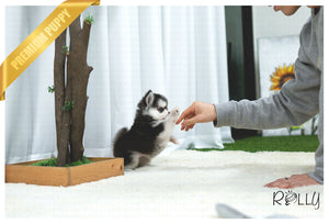(Purchased by NG) Comet - Pomsky. M - ROLLY PUPS INC