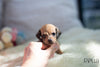 (Purchased by Santa) Cookie - Dachshund. F - Rolly Teacup Puppies