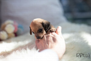 (Purchased by Santa) Cookie - Dachshund. F - Rolly Teacup Puppies - Rolly Pups