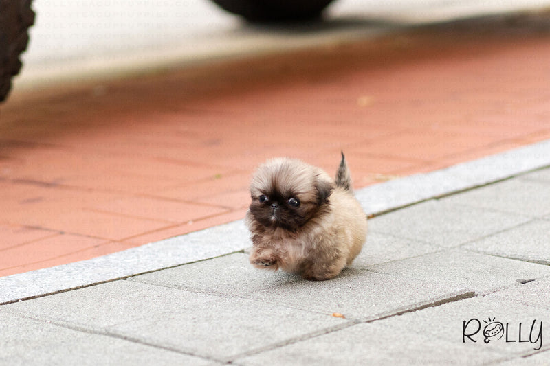 (Purchased by Junichi)  Cookie - Pekingese. M - Rolly Teacup Puppies
