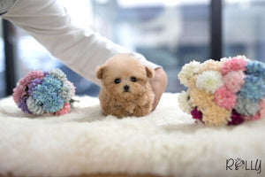 (Purchased by Telia) Cookie - Poodle. M - Rolly Teacup Puppies - Rolly Pups