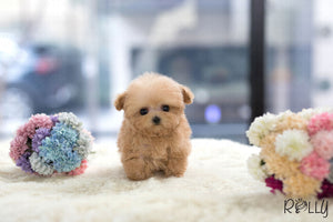 (Purchased by Telia) Cookie - Poodle. M - Rolly Teacup Puppies