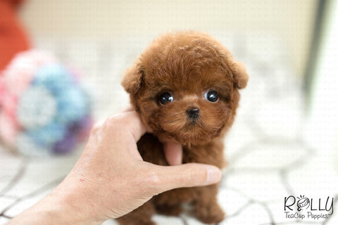 (SOLD to Cloninger) Cookie - Poodle. M - Rolly Teacup Puppies