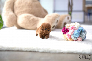 (Purchased by Lineres) Cooper - Poodle. M - Rolly Teacup Puppies - Rolly Pups