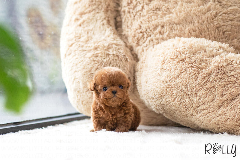 (Purchased by Lineres) Cooper - Poodle. M - Rolly Teacup Puppies