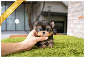 (RESERVED by Diaz) Cooper - Yorkie. M - Rolly Teacup Puppies - Rolly Pups