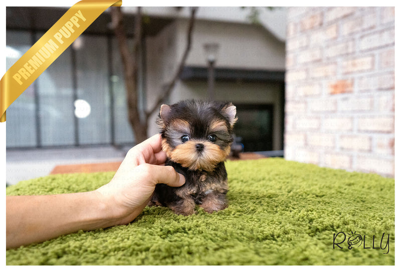 (PURCHASED by Diaz) COOPER - Yorkie. M - Rolly Teacup Puppies - Rolly Pups