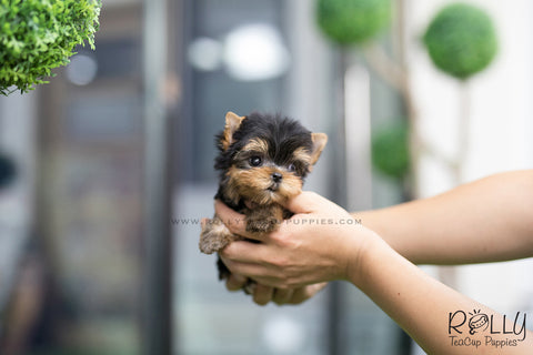 (RESERVED to Amber) Cooper - Yorkie. M