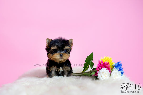 (SOLD to Davidson) Cooper - Yorkie. M