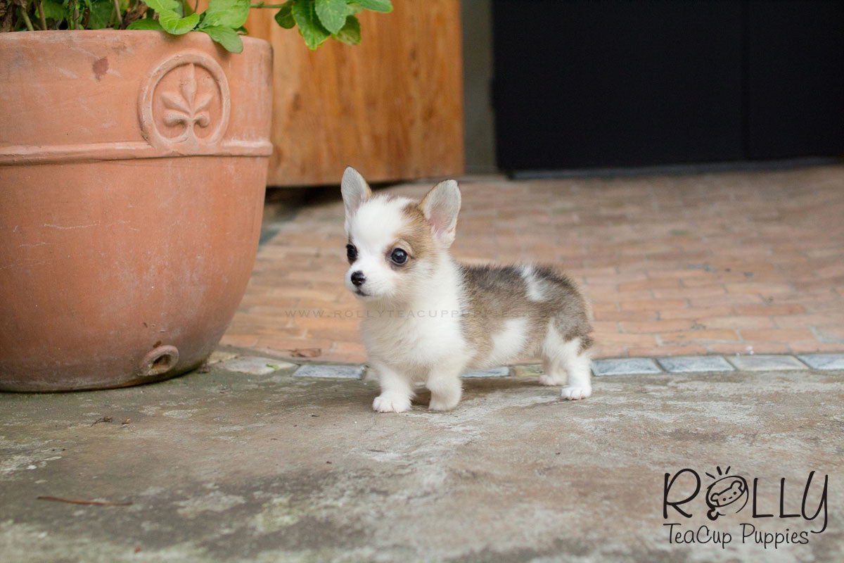 Hugo Corgi Rolly Teacup Puppies