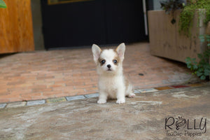 Hugo - Corgi - Rolly Teacup Puppies - Rolly Pups