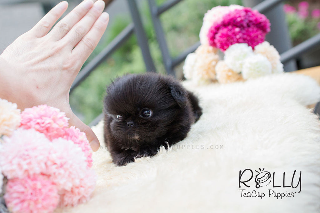 Cory - Pekingnese - Rolly Teacup Puppies