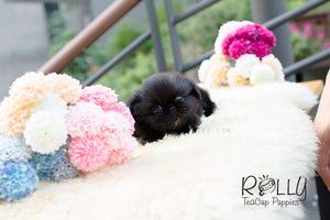 Cory - Pekingnese - Rolly Teacup Puppies - Rolly Pups