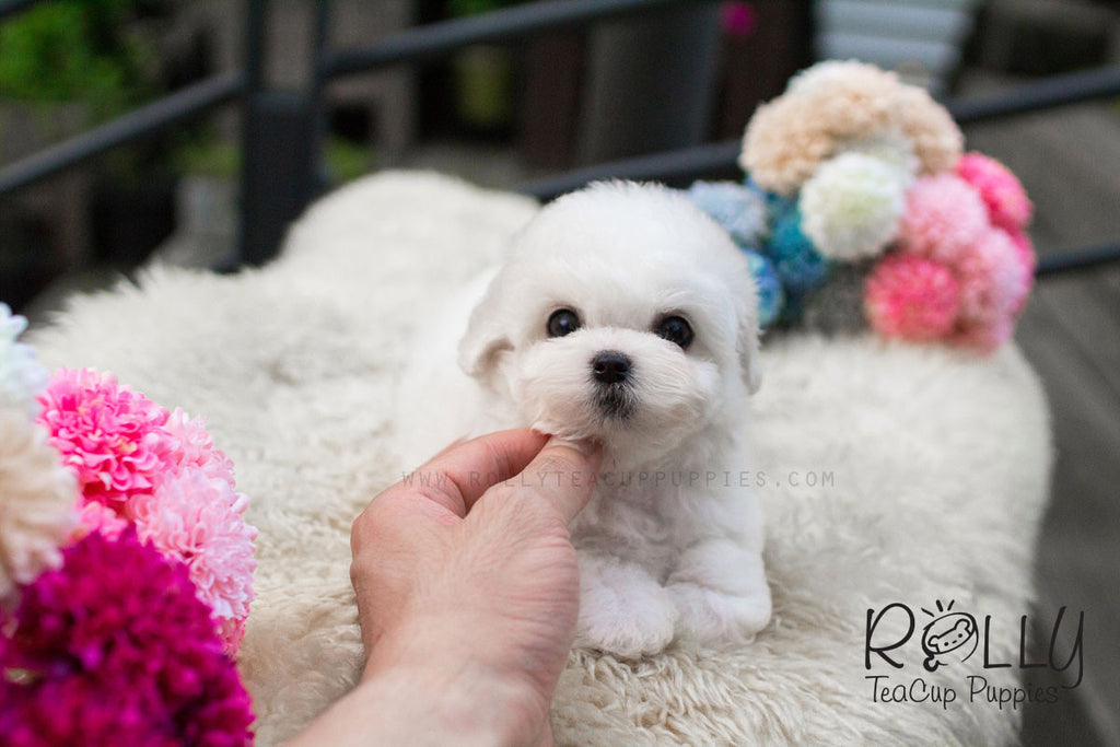 Cotton - Bichon Frise - Rolly Teacup Puppies