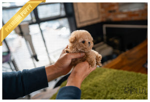 (PURCHASED by Fayez) TIMMY - Poodle. M - Rolly Teacup Puppies - Rolly Pups