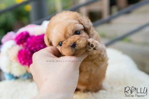 Dolly - Poodle - Rolly Teacup Puppies - Rolly Pups