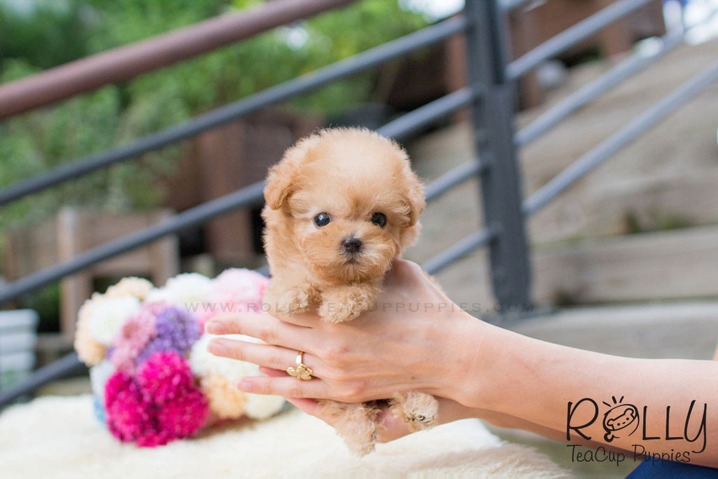 Chloe - Poodle - Rolly Teacup Puppies