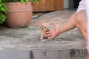 Belle - Poodle - Rolly Teacup Puppies - Rolly Pups