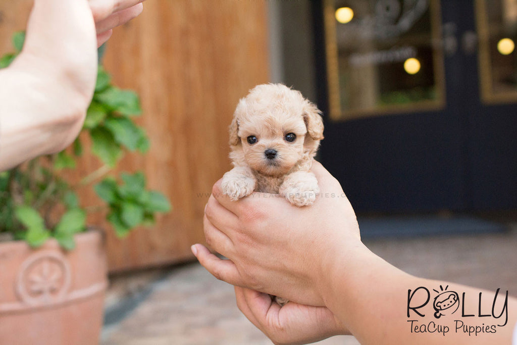 Belle - Poodle - Rolly Teacup Puppies