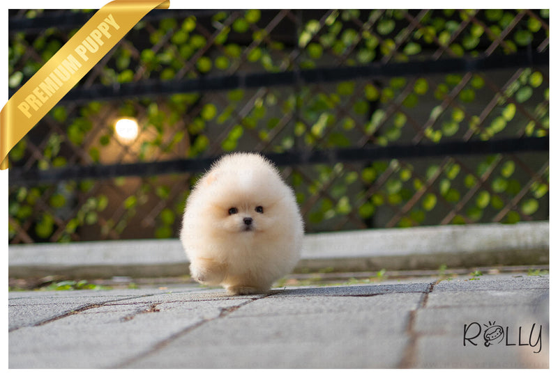 (Purchased by Gilroy) CREAM PUFF - Pom. F - Rolly Teacup Puppies