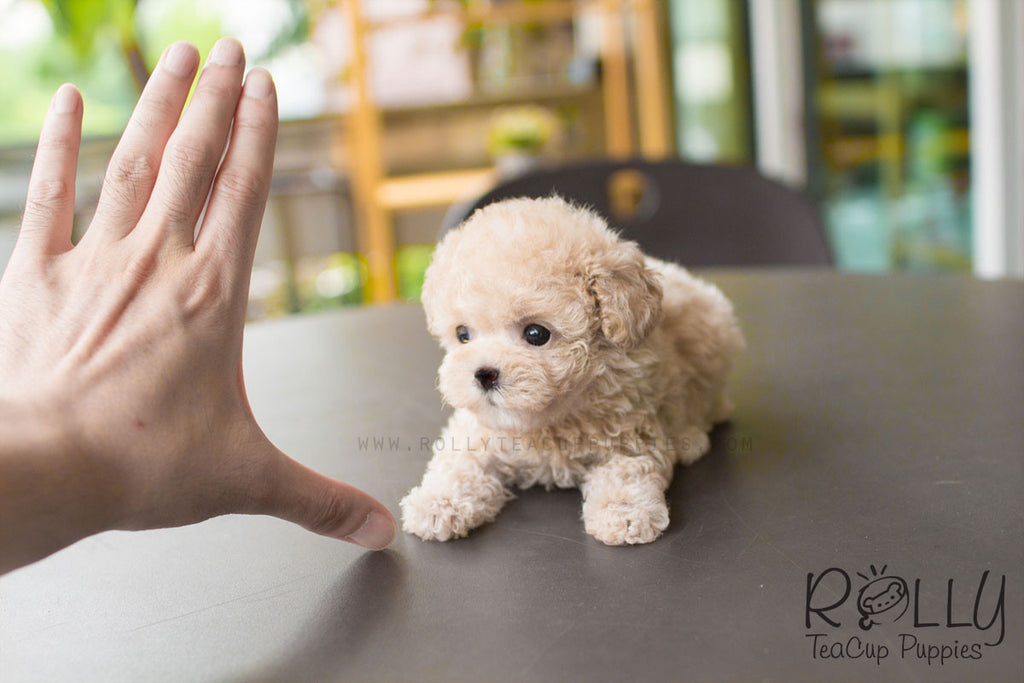 Creme - Toy Poodle - Rolly Teacup Puppies
