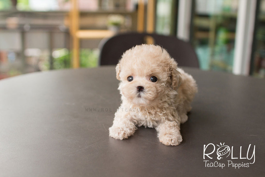 Creme - Poodle - Rolly Teacup Puppies - Rolly Pups