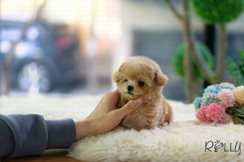 (Reserved by Mubarak)Croissant - Poodle. F - Rolly Teacup Puppies