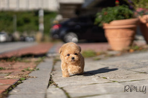 (Purchased by Mubarak)Croissant - Poodle. F - Rolly Teacup Puppies - Rolly Pups