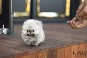 (SOLD to Kors) Cuddles - Pomeranian. M - Rolly Teacup Puppies