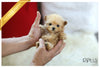(Purchased by Garnier) Cupcake - Poodle. F - Rolly Teacup Puppies