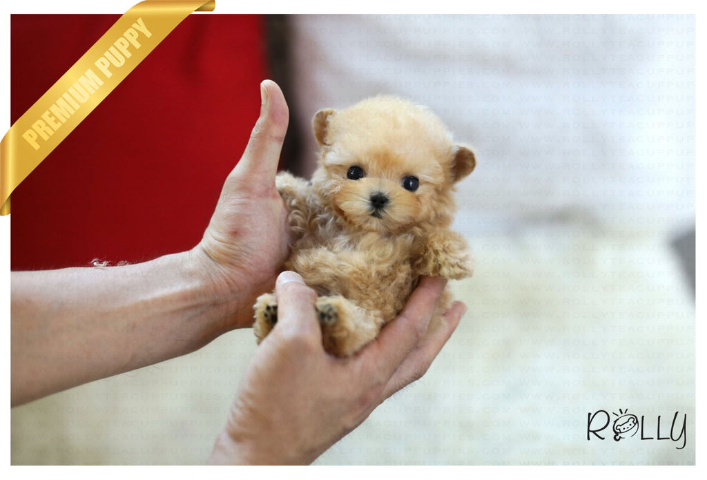 (Purchased by Garnier) Cupcake - Poodle. F - ROLLY PUPS INC