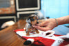 (PURCHASED by Hadjitofi) JESSIE - Dachshund. F - Rolly Teacup Puppies - Rolly Pups