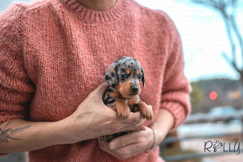 (PURCHASED by Dell) JACKSON - Dachshund. M - Rolly Teacup Puppies - Rolly Pups