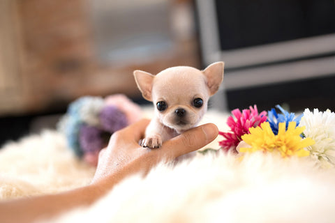 (Purchased by Dian) Daisy - Chihuahua. F - Rolly Teacup Puppies